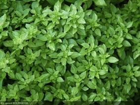 basilic vert nain ocimum_basilicum_