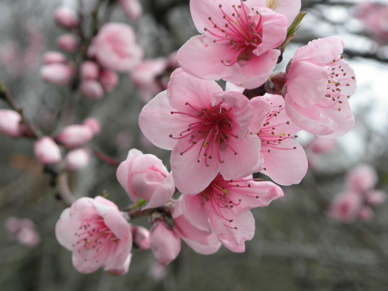 fleur de cerisier association la cerise sur le r teau. Black Bedroom Furniture Sets. Home Design Ideas