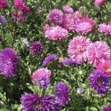 fleur rucher reine marguerite