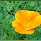 pavot de californie ou fleur d'eschscholzia