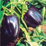 piment purple