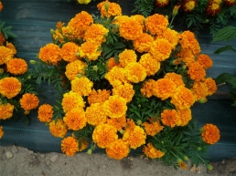 tagetes-nematicides-erecta