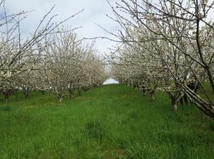 cerisaie en fleurs 5 avril
