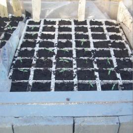 debut de pousse semis
