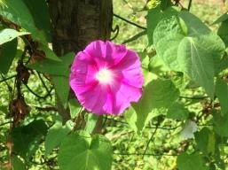 fleur volubilis