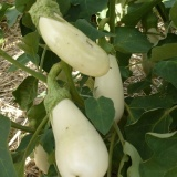 aubergine champ