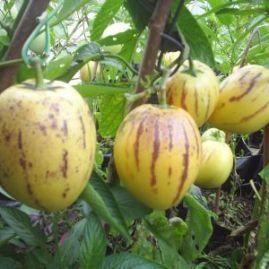poire melon