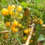 tomata_-_gold_nugget