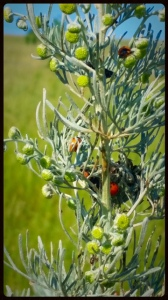 Absinthe coccinelles & larves